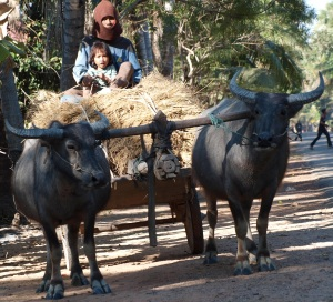 ox cart, siem reap, cambodia